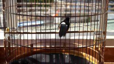 Chim lứa 4 mùa+ lồng, thay lông gần xong kết alo
