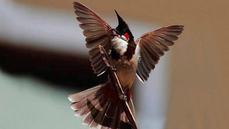 Cách nuôi chim chào mào sung hót hay và căng lửa