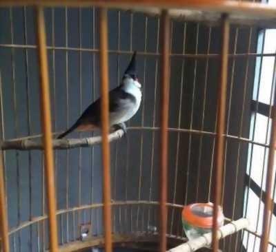 Bán nhanh chim chào mào