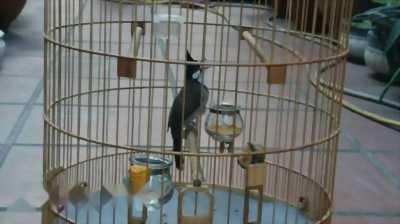 Chim chào mào thuộc
