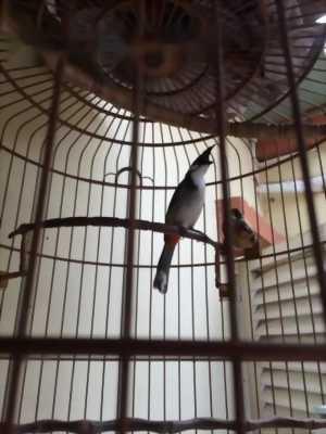 Chim chào mào một. 2t