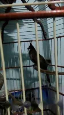 Bán chim bẫy đấu