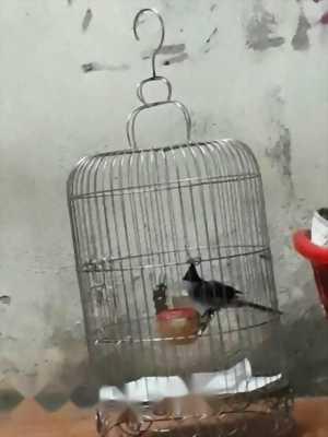 Bán chim Chốc mào 2 tháng