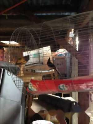 chim chào mào mồi tại kon tum , đã có giải