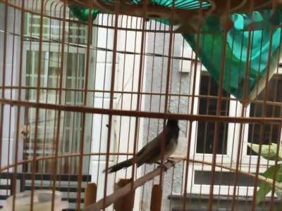 chim chào mào quận tân phú