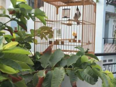Dời nhà -dàn chim chào mào