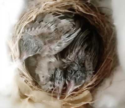Chim chào mào con