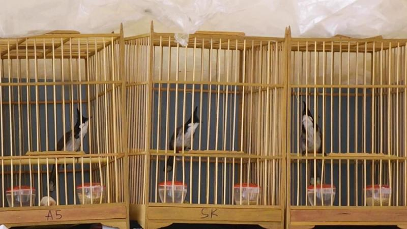 Bán chim chào mào mộc đā ra giọng