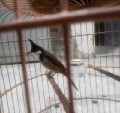 Bán chim Chào mào đã nuôi được 2 mùa