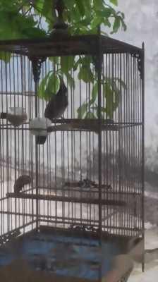 chim chào mào hai mùa lồng