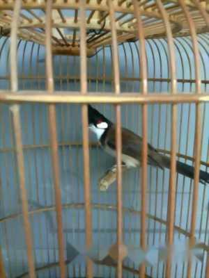 Chim chào mào