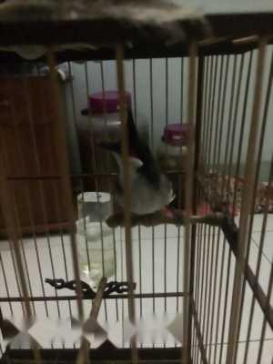 Chim chào mào đấu
