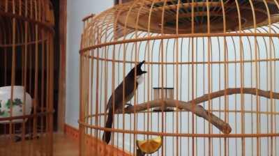 Bán chim chào mào gia lai