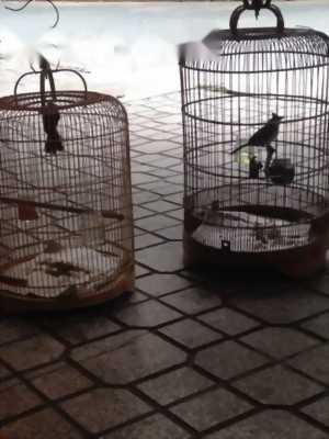 Cần bán chim chào mào