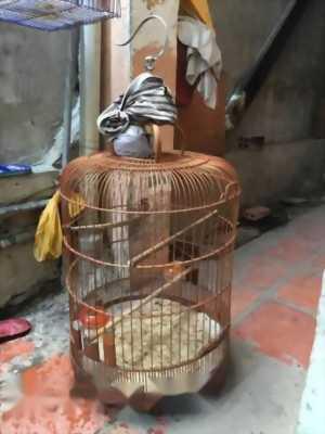 Bán chim chốc mào mới xong lông mùa 3
