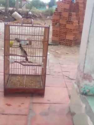Bán lại chim mồng