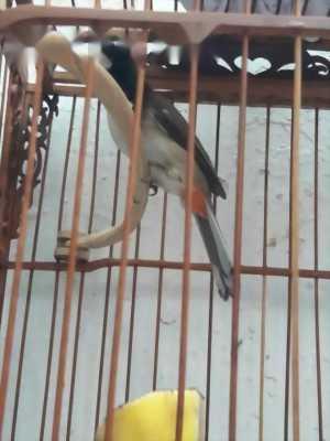 Bán chim chốc mào lân 3-4 mùa