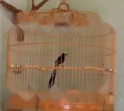 chim than sẻ, cm, bạc má mái bc 09