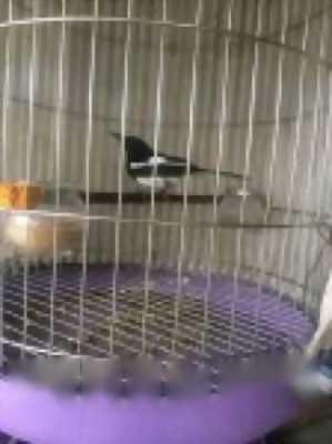chích choè đà nẵng,  chim bạc má mái bc 7
