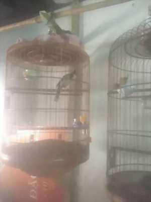 Chim chào mào yếm đậm