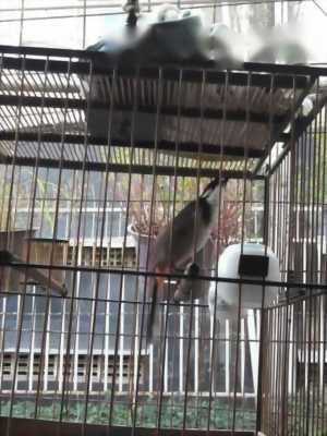Cần bán chim đấu bung xòe