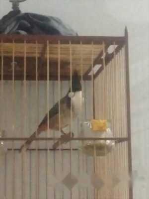 Cần bán con chim chào mào