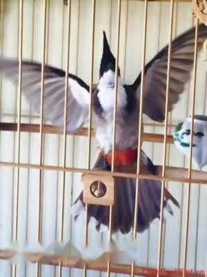 Cần bán chim chốc mào cung bình điền