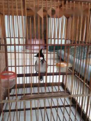 Bán chim mào lửa nuôi 3 tháng