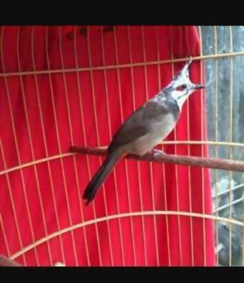Mình đang có nhu cầu bán một chú chim chào mào mơ