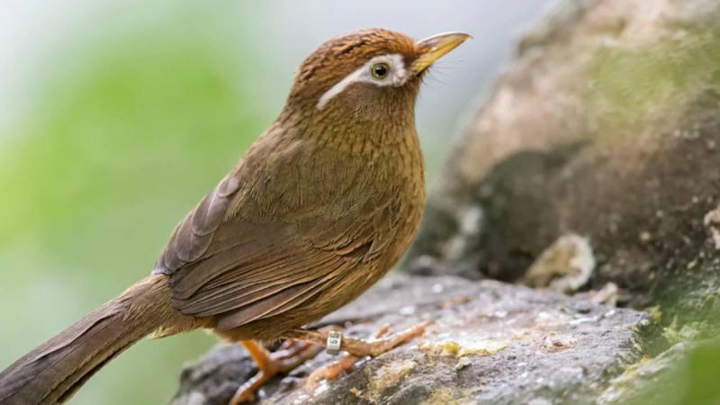 Những điều thú vị về tiếng chim hoạ mi hót