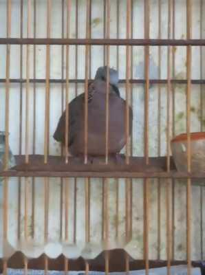 chim cu & họa mi