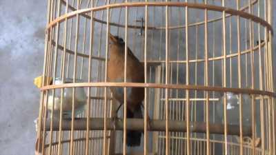 Bán chim mi tại Hà Nội