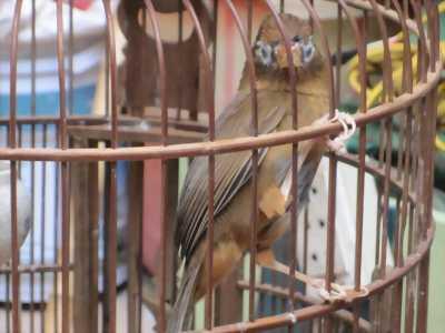 Bán Đôi Họa Mi Bánh Tẻ tại Hà Nội