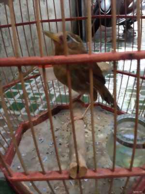 Giao lưu chim mi thuần tại Hà Nội