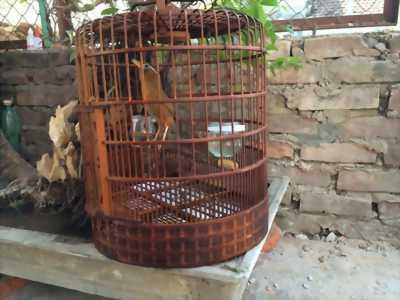 Chim họa mi thuần tại Hà Nội