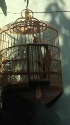 Bán chim Mi mộc 1 tháng lồng tại Hà Nội