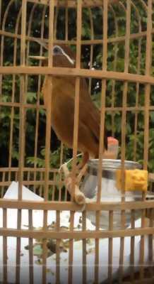 Hoạ Mi Mái Bánh Tẻ tại Hà Nội