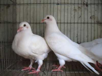 Bán chim bồ câu banh cả đôi bố mẹ và con