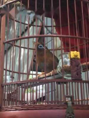 Cần bán chim hoạ mi