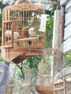 Bán chim cảnh chim Họa Mi