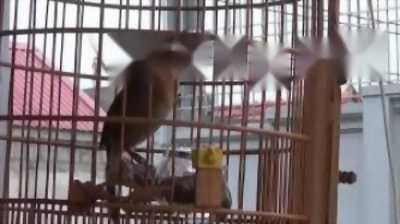 chim họa mi và lồng
