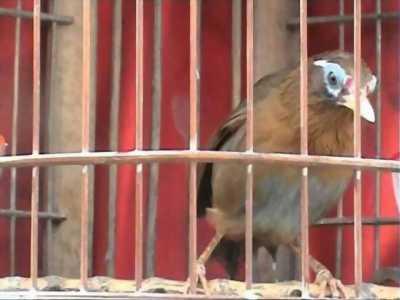 Bán chim mới xong lông, đang lên lửa, lông lá mặt mũi xinh trai, bộ to dài, chim hơn 2 mùa