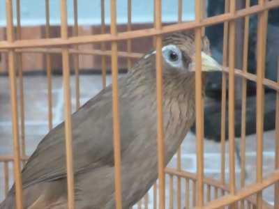 Bán 2 con Mi bổi, nuôi được 6 tháng, hót nhiều