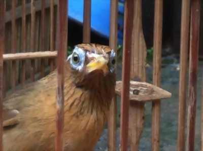 Cần bán chim họa mi bộ to ,mắt đẹp chơi cánh , đuôi , đấu xòe siêng hót