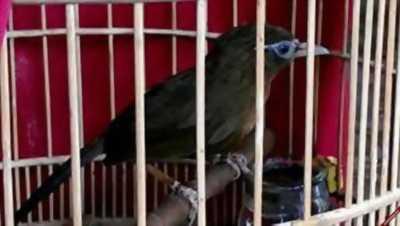 Bán họa mi  2 mùa, mẫu chim đá Quảng Ninh