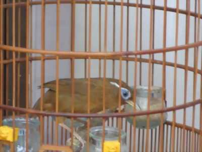 Bán chim Họa mi, Khướu, lồng 60 và lồng Sơn ca