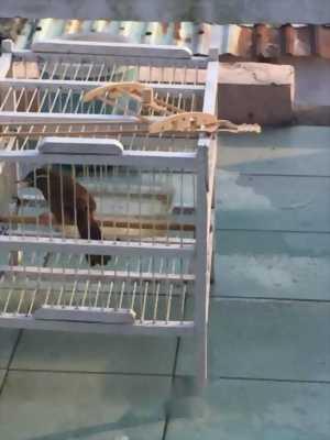 Chim Hoạ Mi Lạng Sơn