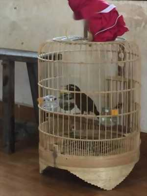 Chim Hoạ Mi
