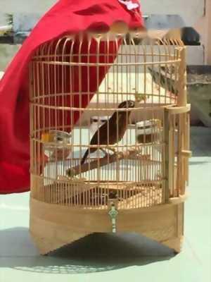 Cần bán con chim hoạ mi thuần 80%