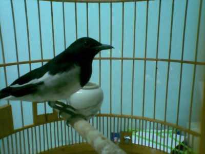 Bán chim Chòe than con trông đa trô